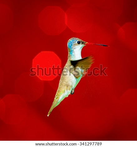 Violet Crowned Hummingbird flying against a red festive background giving of a festive atmosphere. This makes a very unusual Christmas card to any hummingbird or wild life enthusiast. Special card. - stock photo