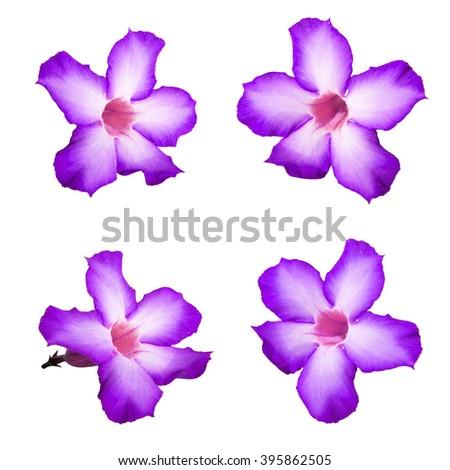 Violet Desert rose flowers, isolated on white background - stock photo
