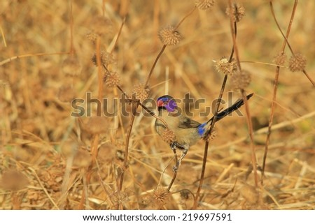 Violet Eared Waxbill - African Wild Bird Background - Portrait of Purple and Gold - stock photo