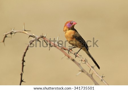 Violet-eared Waxbill - African Wild Bird Background - Sharp Beauty in Nature - stock photo