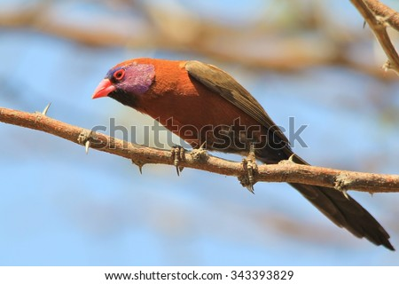 Violet-eared Waxbill - Wild Bird Background from Africa - Posing Colors - stock photo