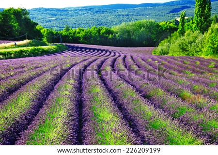 violet fields of blloming lavander in Provence - stock photo