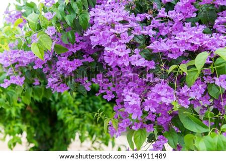 violet flower blossom, Vallaris Heynei, India plant. - stock photo