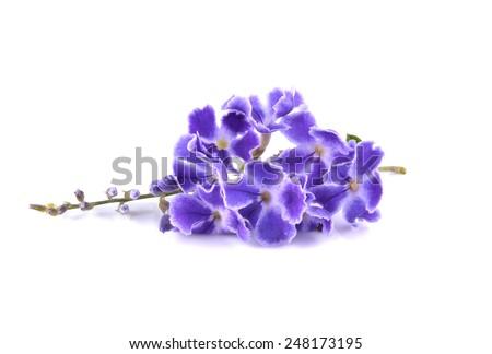 Violet flower. Golden Dew Drop, Duranta erecta on white - stock photo