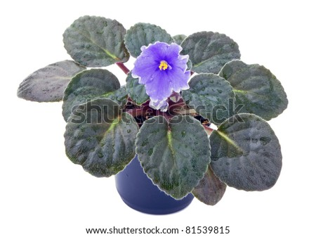 violet flower in pot isolated on white - stock photo