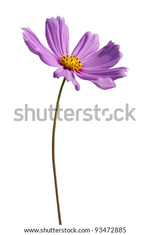 Violet flower in sunny day on isolated background - stock photo