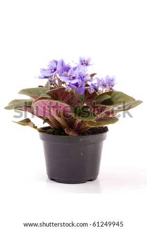 Violet flower on the pot, over white background