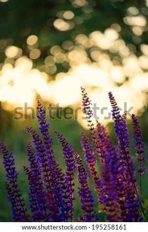 Violet flowers against the setting sun  - stock photo