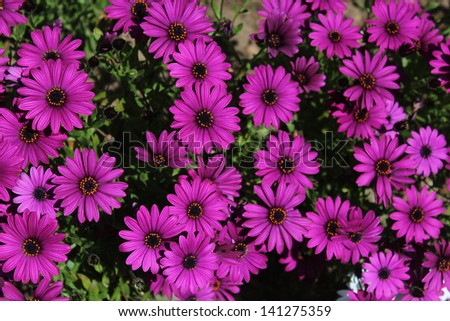 violet flowers background - stock photo