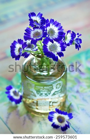 violet flowers (cineraria mezcla) in a vase on a table.  - stock photo