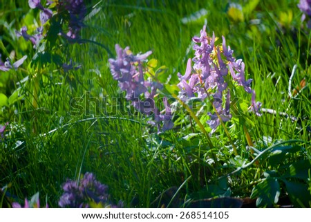 violet  flowers Green Summer Grass Meadow Close-Up With Bright Sunlight. Sunny Spring Background - stock photo
