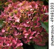 Violet flowers of Hydrangea Hortensia Ajisai plant - stock photo