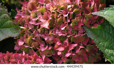 Violet flowers of Hydrangea Hortensia Ajisai plant - stock photo