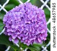 Violet flowers of Hydrangea Hortensia Ajisai plant over garden fence - stock photo