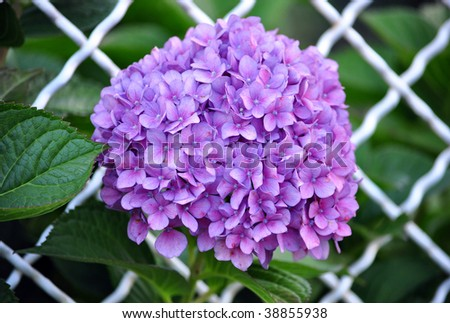 Violet flowers of Hydrangea Hortensia Ajisai plant over garden fence - stock photo