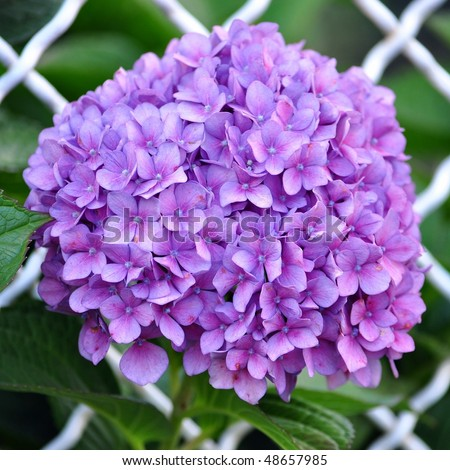 Violet flowers of Hydrangea Hortensia Ajisai plant over garden fence