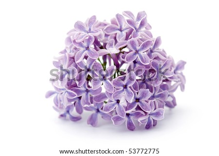 violet flowers of lilac - stock photo