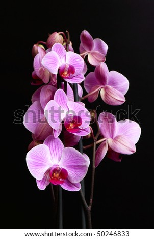 Violet flowers of phalaenopsis on black - stock photo