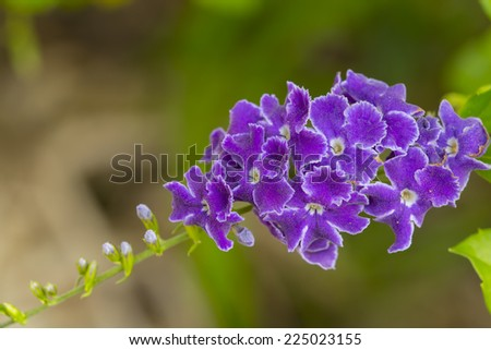 violet flowers with clear background - stock photo
