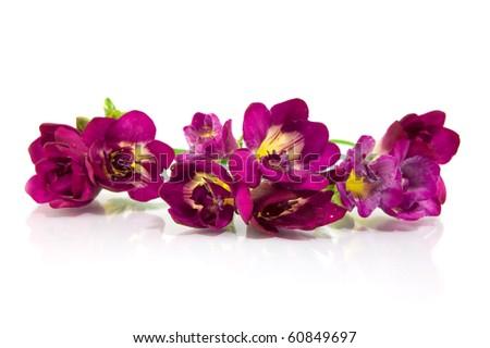 violet fresia on white - stock photo