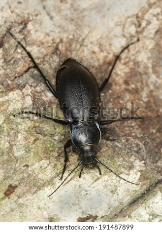 Violet ground beetle, Carabus violaceus on wood