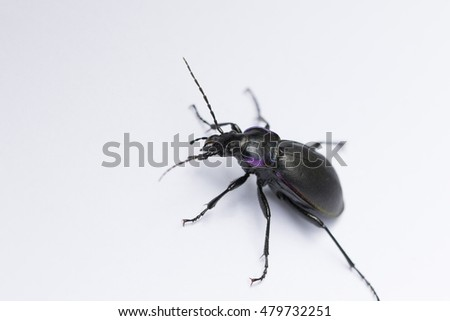 Violet ground beetle-Carabus Violates, isolated on a white background