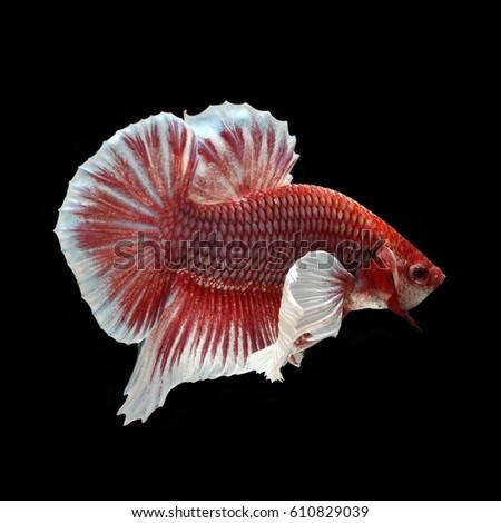 violet fighter fish
