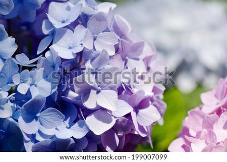violet hydrangea - stock photo