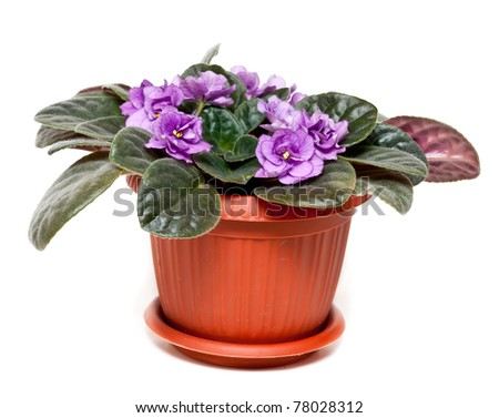 violet in a brown pot isolated on a white background