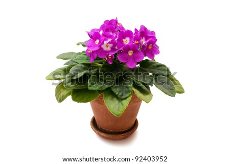 Violet in a pot on a white background - stock photo
