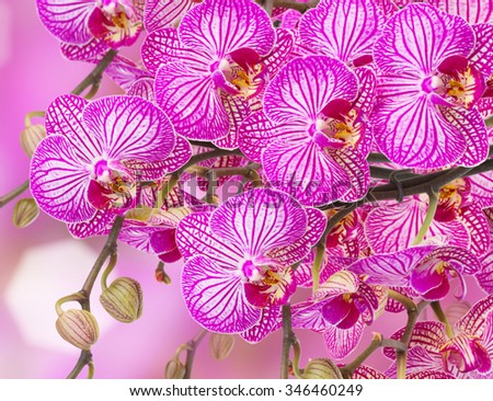violet in stripes orchids  isolated on white background - stock photo