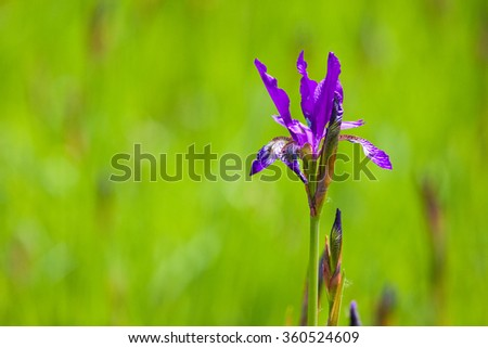 Violet iris on the green grass background - stock photo