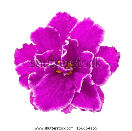 violet isolated on a white background - stock photo