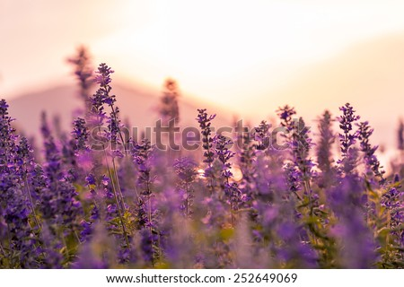 Violet lavender field background on sunset. - stock photo