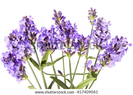 Violet  lavendula flowers on white background, close up.