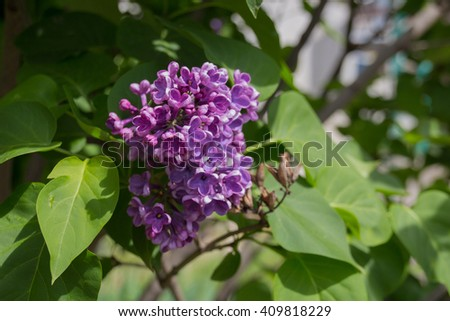 Violet lilac flowers. Syringa vulgaris  is a species of flowering plant in the olive family Oleaceae, native to the Balkan Peninsula, where it grows on rocky hills. - stock photo
