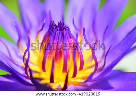 Violet lotus blooming in the pond ,Purple lotus flower - stock photo