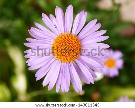 violet margaret - stock photo