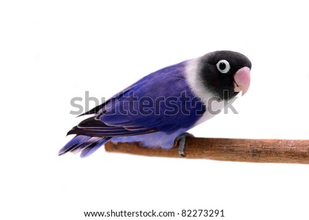 Violet masked lovebird on the white background - stock photo