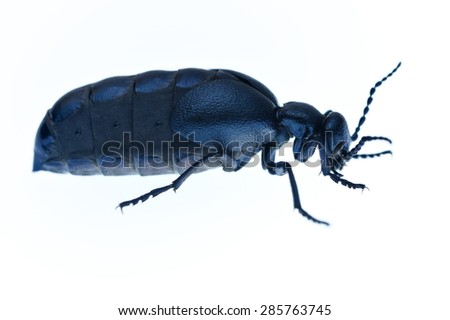 Violet oil beetle Meloe isolated on white. - stock photo