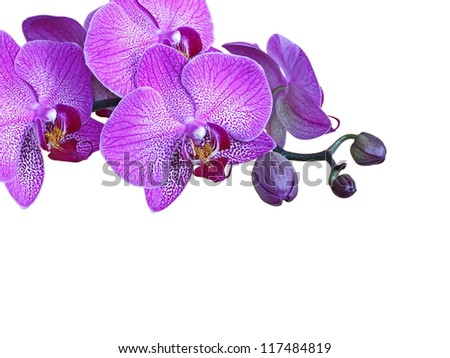 Violet orchid branch, isolated, with buds - stock photo