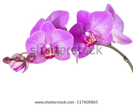 Violet orchid flowers, isolated - stock photo