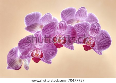 Violet orchid flowers isolated on background - stock photo