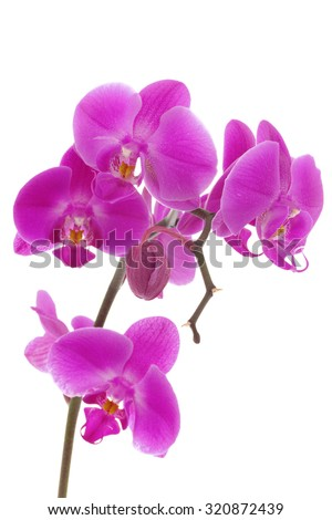 Violet orchids closeup on the white background