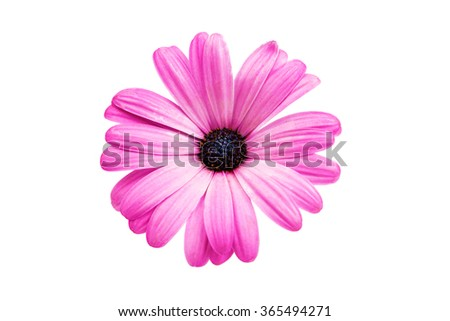 Violet Pink Osteosperumum Flower Daisy Isolated on White Background. Macro Closeup - stock photo