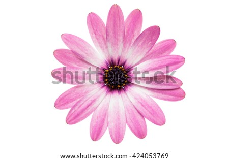 Violet Pink Osteosperumum Flower Daisy Isolated on White Background. Macro Closeup