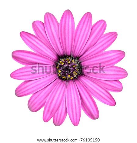 Violet Pink Osteosperumum Flower Daisy Isolated on White Background. Macro Closeup - stock photo