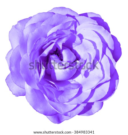 Violet rose flower macro isolated on white - stock photo
