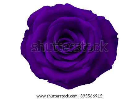 violet rose isolated on white background - stock photo