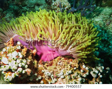Violet sea anemone - stock photo